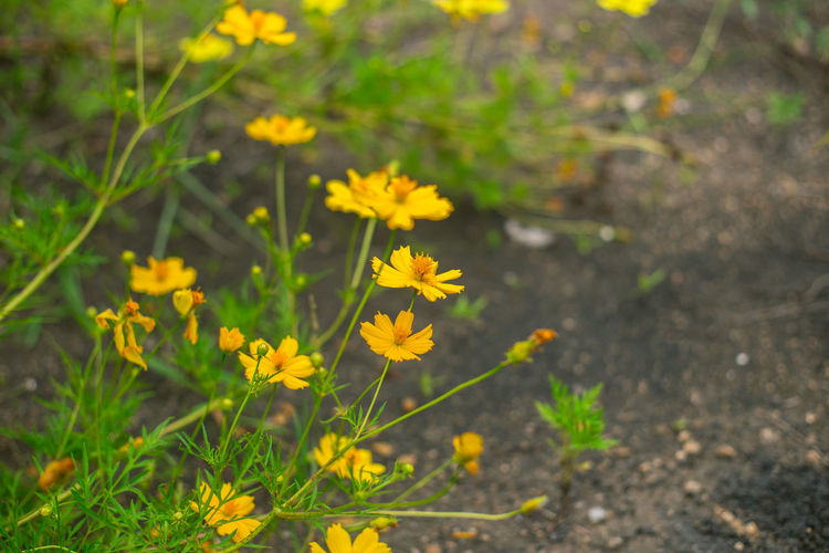 Close-up of yellow flowering plant on land