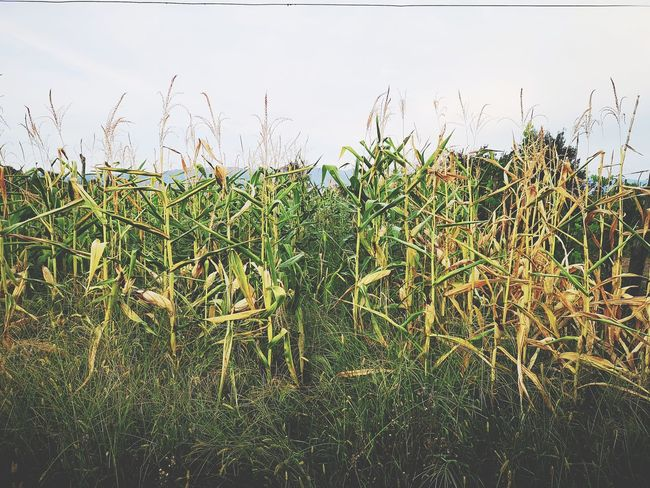 Bird Cereal Plant Sky Grass Plant Green Color Cultivated Land Agricultural Field Plantation Farm