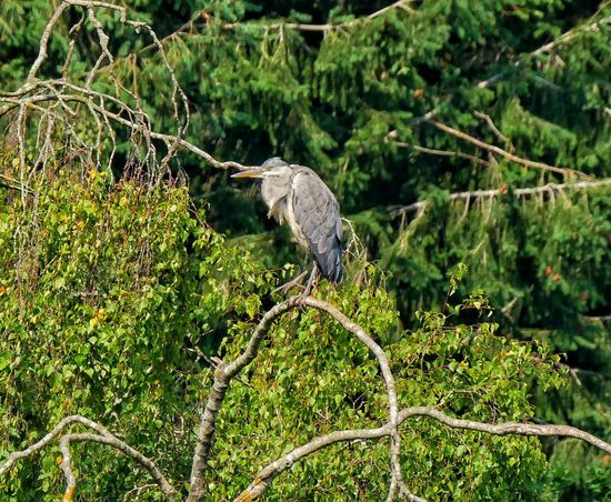 Heron Tree Forest Animal Themes Close-up Green Color Gray Heron Wildlife