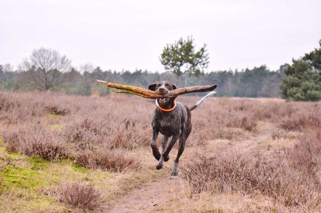 fun! I Love My Dog Dog Gsp Animal Themes Outdoors Field Active Play Fun Enjoying Life My Girl My Bestfriend Nikon