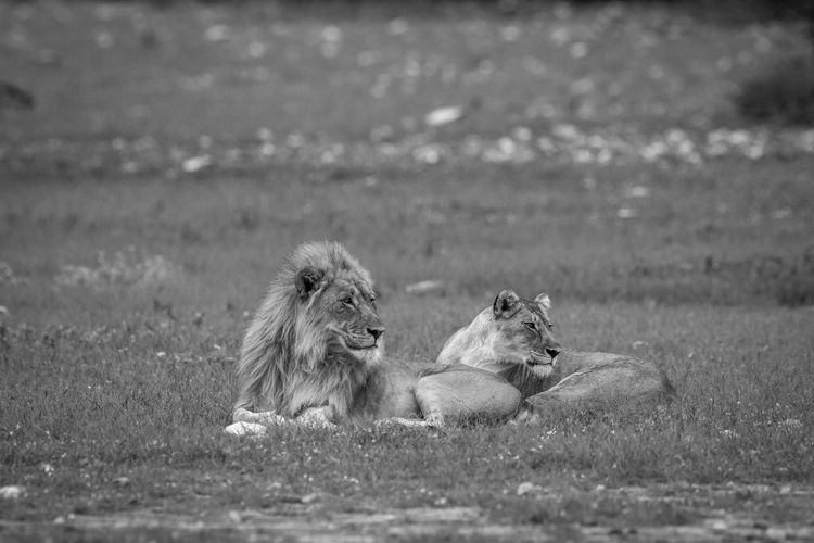 Lion and lioness relaxing on land