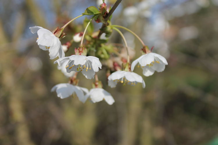 Beauty In Nature Branch Close-up Day Flower Flower Head Focus On Foreground Fragility Freshness Growth Nature No People Outdoors Plum Blossom Tree Twig