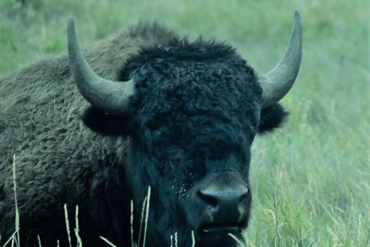 Buffalo South Dakota South Dakota Badlands American Bison Animal Themes Close-up No People One Animal Outdoors