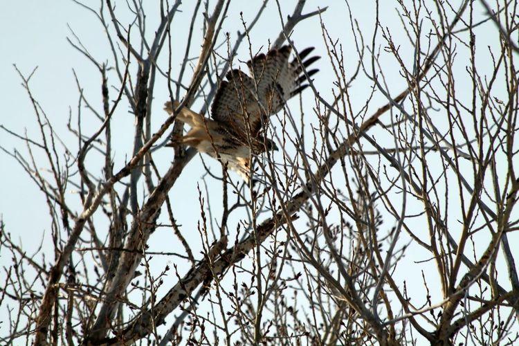 Falcon taking