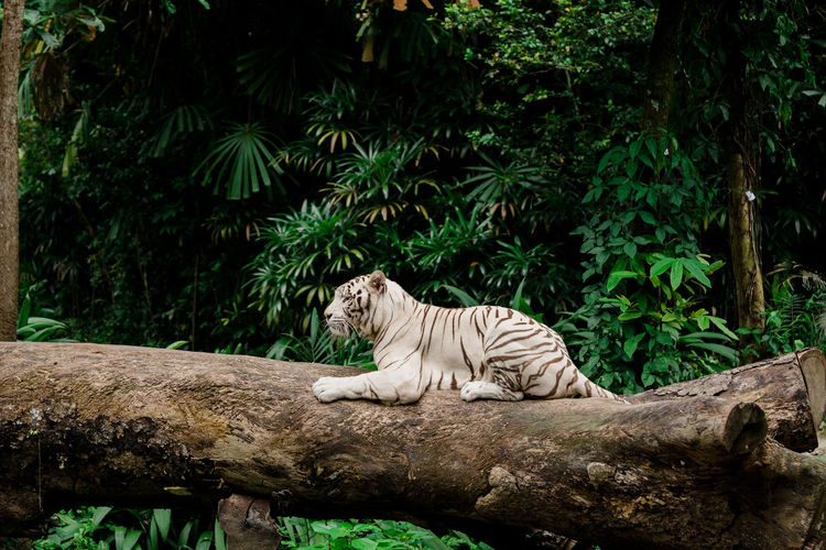 Side view of white tiger sitting on tree trunk in forest