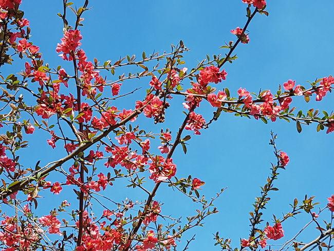 Japanese Peach Sky Springtime No Filter No People Hello World Tree Flower Clear Sky Springtime Sky Plant Life Blossom In Bloom Botany Flower Head