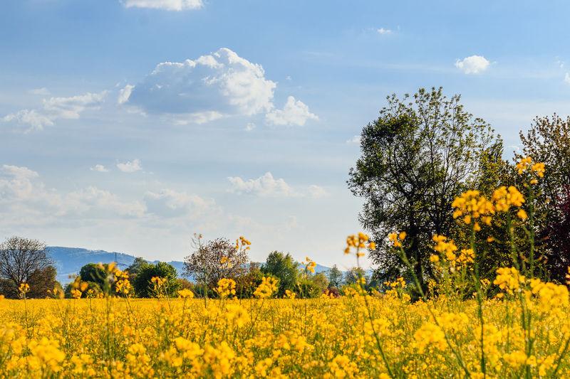 Rapsfeld in Rheinfelden, Mai 2016 Agriculture Beauty In Nature Cloud Cloud - Sky Day Field Flower Freshness Growth Landscape Nature No People Plant Sky Tree Yellow