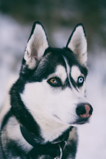 Silver EyeEm Gallery Hund Kungshamn Sweden Taking Photos X-PRO2 XF56mmAPD Animal Themes Brightly Lit Close-up Day Dog Domestic Animals Fujifilm Fujifilm X-pro2 Fujifilm_xseries Husky Nature No People Outdoors Pet Pets Siberian Husky Snow Sverige
