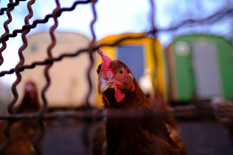 Neighbourhood Food Bird Animal Animal Themes Domestic Animals Pets Livestock Vertebrate Chicken Domestic Mammal No People Chicken - Bird Focus On Foreground Rural Scene One Animal Cage Close-up Indoors  Selective Focus Poultry Beak Animal Head