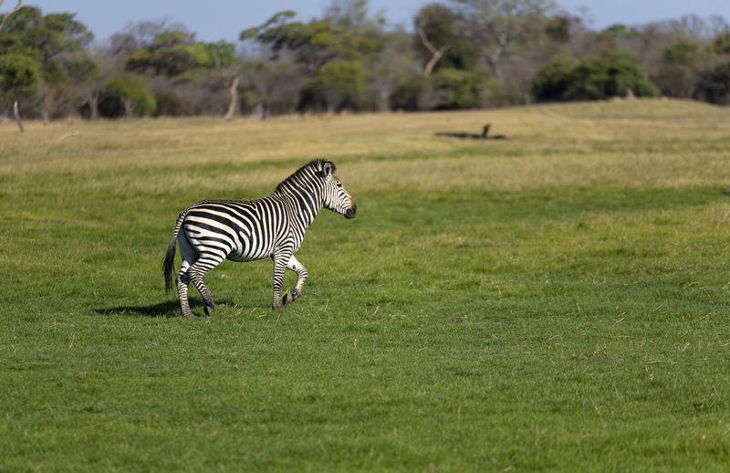 Zebra crossing in a field