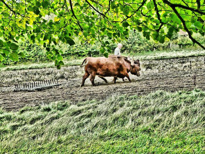 Folk Museum Training Oxen HDR Editing Summer Memories Relaxing Taking Photos Nature
