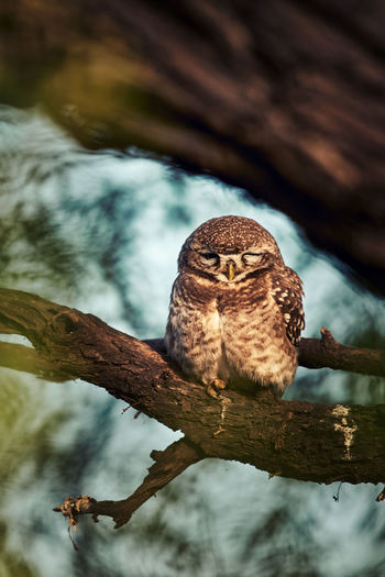 A low angle view of a spotted owlet