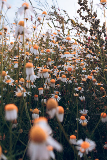 Beauty In Nature Close-up Day Field Flower Flower Head Flowering Plant Food Fragility Freshness Growth Land Nature No People Outdoors Plant Selective Focus Sky Tranquil Scene Tranquility Vulnerability