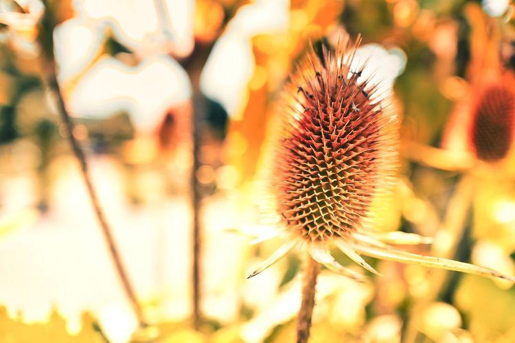 Distel Flower