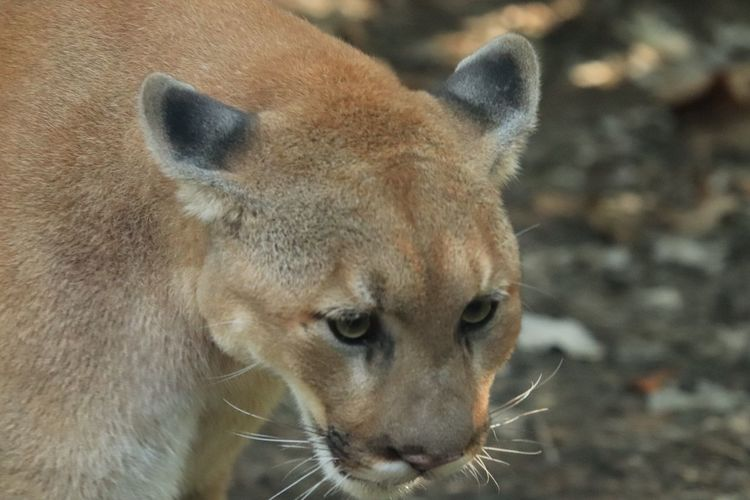Portrait of a Cougar Zoo Photography  EyeEm Selects Mammal Animal Themes Animal One Animal Animal Wildlife Vertebrate No People Feline Close-up Looking Looking Away Focus On Foreground Cat Day Animal Head  Animal Body Part Outdoors Portrait Zoology