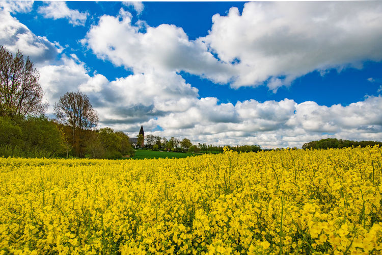 Yellow Beauty In Nature Sky Cloud - Sky Flower Landscape Field Agriculture Plant Rural Scene Land Scenics - Nature Oilseed Rape Growth Flowering Plant Environment Tranquil Scene Farm Nature Tranquility No People Springtime Rapeseed Field Rapeseed RapeFlowers