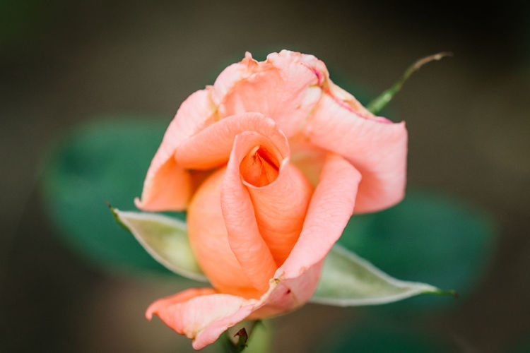 close-up of a pink rose Macro Photography Pink Close Up Close-up Flower Flower Head Green Background Macro Rose - Flower Rose🌹 Rosy Rosé