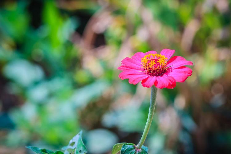 Beautiful single pink Zinnia flower top view in summer garden (Zinnia violacea Cav.) on sunny day. Zinnia Flower Zinnia Flower Zinnia Flowers Zinnia Flowers In Bright Sunshine