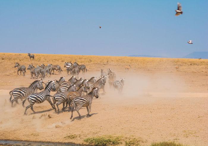 Animals In The Wild Running Savannah Serengeti National Park Zebra Birds Dust Flying Zebras Lost In The Landscape