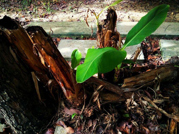 Sapling Sapling Tree Banana Tree Tree Trunk Trunk Light And Shadow Leaf Green Color Leaves