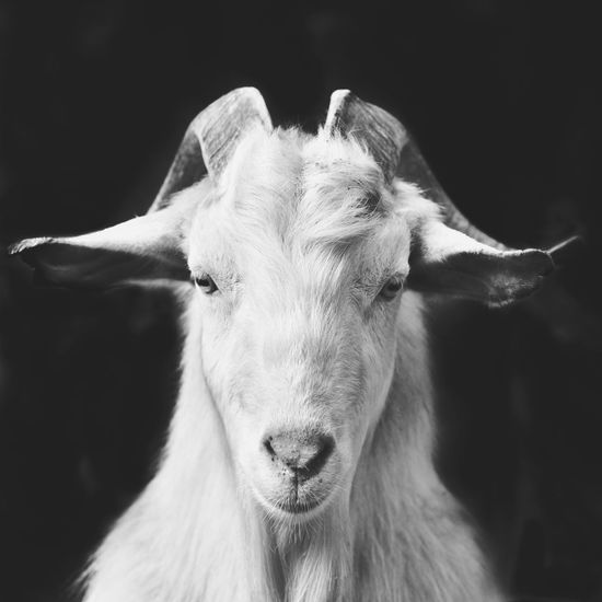 goat solo Black Background Portrait Looking At Camera Animal Themes Close-up Domestic Animals Mammal No People Photooftheday Photography Black&white Blackandwhite Picoftheday Black & White Blackandwhite Photography Black And White Photography Black And White Collection  Animal Photography Black And White Animal_collection Travel Zoology Art Portraits Picture The Week On EyeEm Editor's Picks My Best Photo