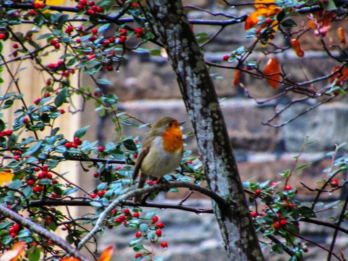 Animal Themes Tree Nature Bird One Animal Branch Perching No People Beauty In Nature Outdoors Nature On Your Doorstep Changing Colors Tree Red Robin Orange Color Red Berries In Tree