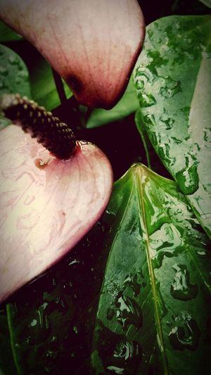 Anthurium Pandola Flower Flower Flower Head Leaf Drops Of Rain Drops Close-up Freshness Nature Water Pink And Green Garden Garden Flowers Garden