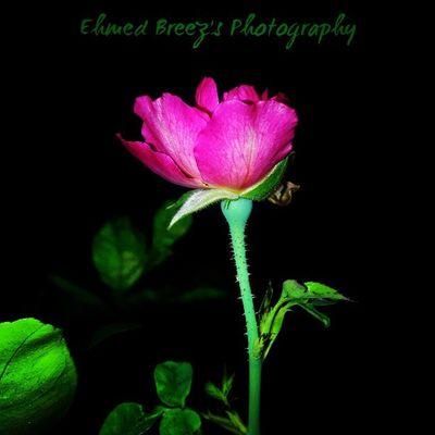Pink rose... Ehmedbreez InstagramMV Instakomandoo