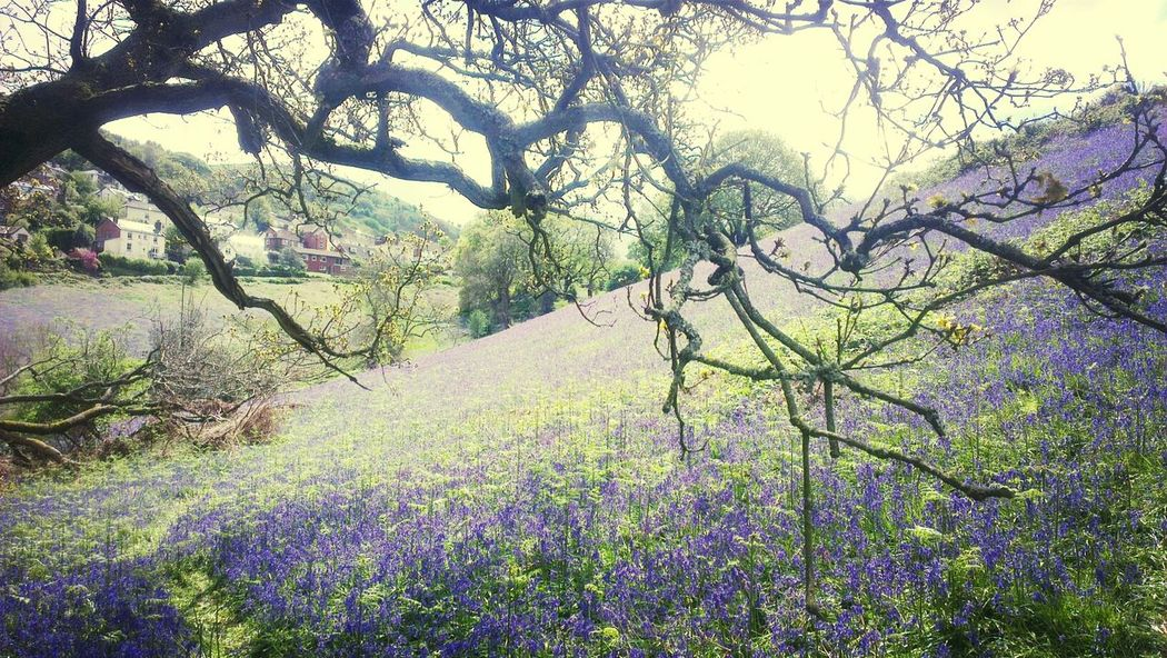 Bluebells Nature The Field