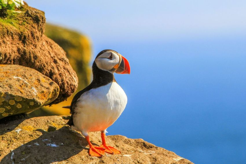 Bird One Animal Animal Wildlife Beak Animals In The Wild Outdoors Close-up Nature No People Day Hiking Hikingadventures Cloud - Sky Travel Destinations Mountain Landscape Animals In The Wild Animal Themes Iceland Mountains Puffin Puffin Island