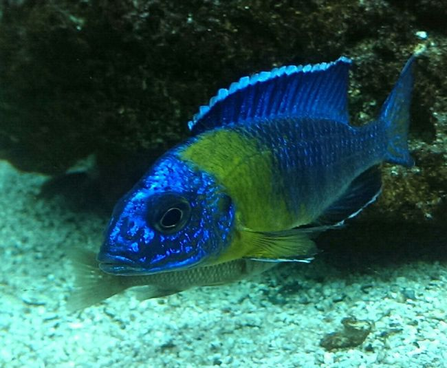 My pair of wild caught Aulonocara Maulana Wild Caught Malawi Cichlid Underwater Fish Fins Swim Colour