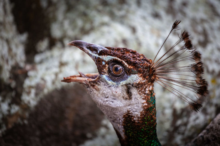 Bird Closeup Close-up Peahen Portrait One Animal Animal Themes Animal Animal Wildlife Animals In The Wild Vertebrate Focus On Foreground Animal Body Part No People Animal Head  Nature Rock - Object Rock Solid Day Outdoors Peacock Beauty In Nature Animal Eye