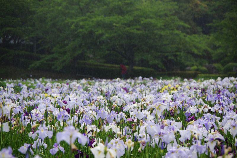 雨 袖ケ浦公園 花菖蒲 Plant Flowering Plant Flower