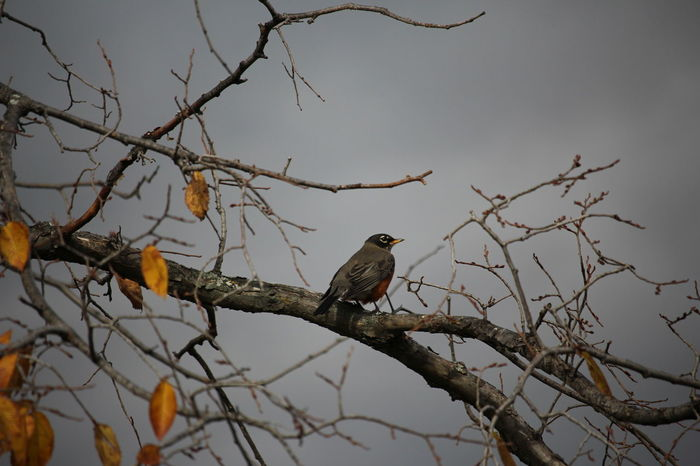 Bird Bare Tree Perching Animal Wildlife Branch Animals In The Wild One Animal Beauty In Nature No People Nature Animal Themes Winter Tree Outdoors Day American Robin