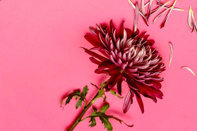 PINK Plant Pink