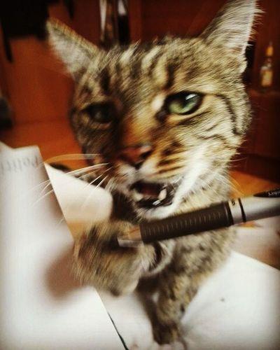 Nein Mensch du hörst jetzt auf zu lernen und fütterst mich sofort!! Cat Catlife Catproblems Katzenjammer Pen Distraction
