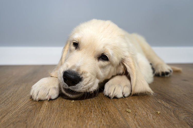 Close-up portrait of dog relaxing on hardwood floor