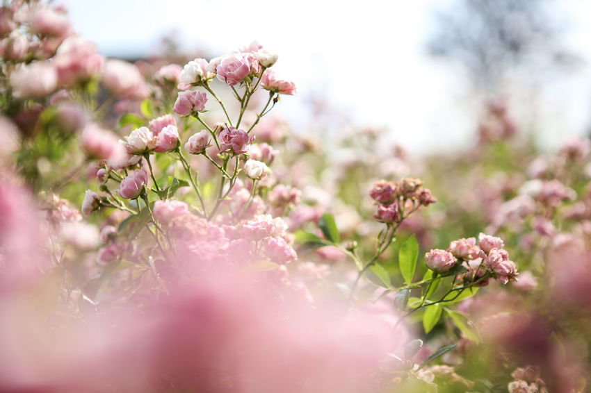 Beauty In Nature Blooming Blossom Botany Bud Close-up Day Flower Flower Head Focus On Foreground Fragility Freshness Growth In Bloom Nature No People Outdoors Petal Pink Pink Color Plant Selective Focus Sky Stem Twig