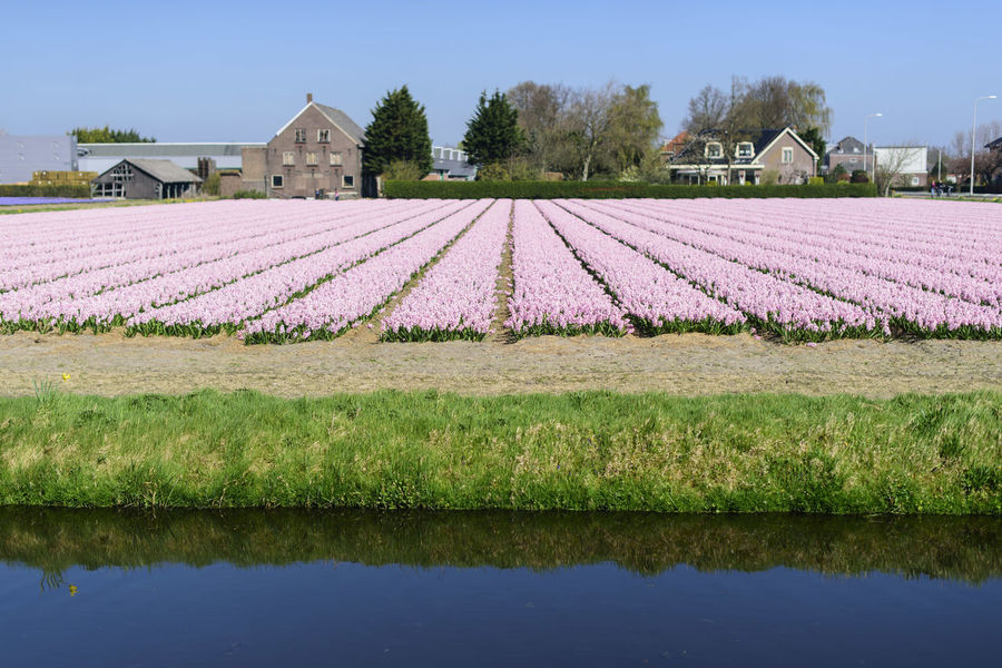 Agriculture Amazing Architecture Building Exterior Built Structure Business Finance And Industry Clear Sky Colors Day Flower Garden Grass Holland Keukenhof Keukenhof Garden Nature No People Outdoors Pink Color Politics Sky Social Issues Tulips🌷 Water