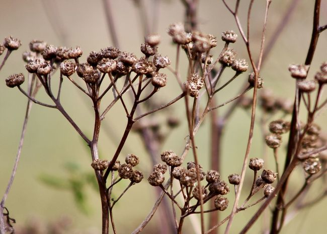 autumn mood: dried tansy flowers Autumn Beige Field Wildflower Beauty In Nature Branch Brown Change Close-up Countryside Dried Plant Flora Flower Flower Head Focus On Foreground Fragility Garden Growth Nature Outdoors Plant Purity Season  Tansy Wilderness