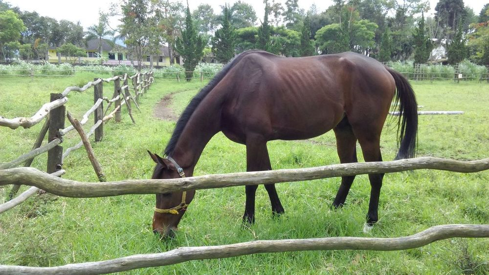 horse farm Brown Horse Hills Hills And Valleys Tropical Bandung, Indonesia Horse Domestic Animals One Animal Animal Themes Grass Tree Mammal Grazing Day Nature Outdoors