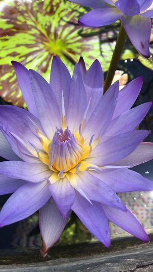 Raw Photo Purple Lotus Flower Purple Lotus Flower Beautiful Bright Flower Structure Yellow Tinges