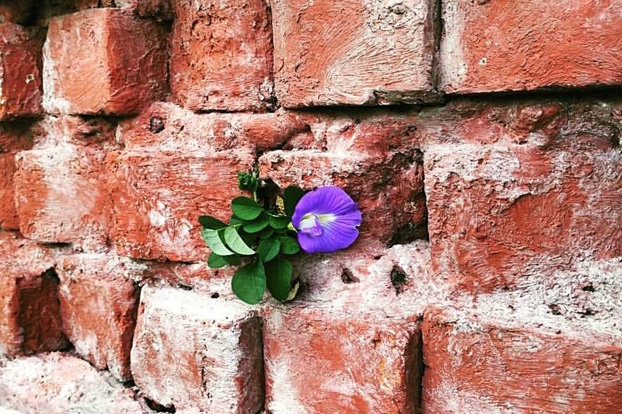 brick wall, wall - building feature, growth, plant, flower, day, outdoors, no people, fragility, architecture, leaf, built structure, nature, building exterior, green color, close-up, red, beauty in nature, flower head, freshness