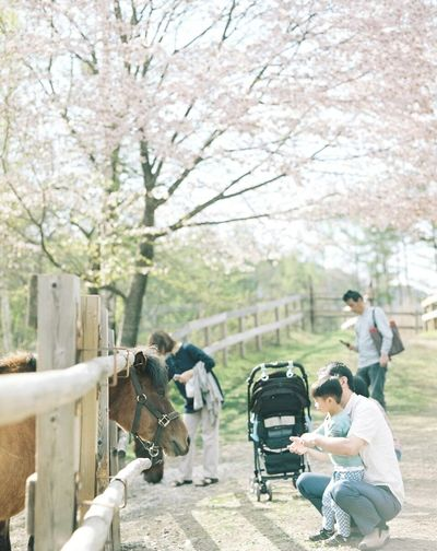 Mamiya RB67 120mm Horse Cherry Blossoms Film Photography Japan Open Edit