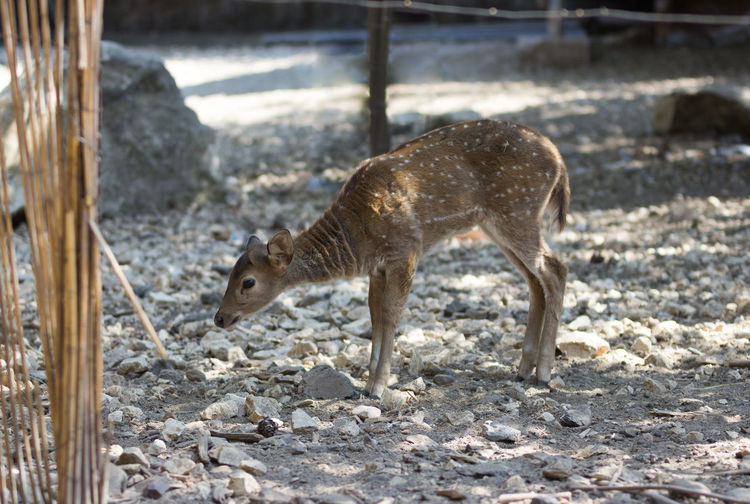Side view of fawn standing on field