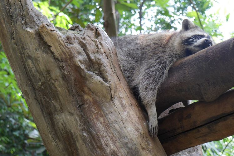 Raccoon sleeping on wood