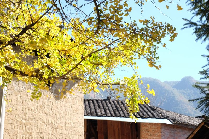 China's Mountainous Tree Architecture Plant Built Structure Building Exterior Nature Mountain Sunlight No People Branch Roof Yellow Beauty In Nature Outdoors Low Angle View Day House Building Growth Sky