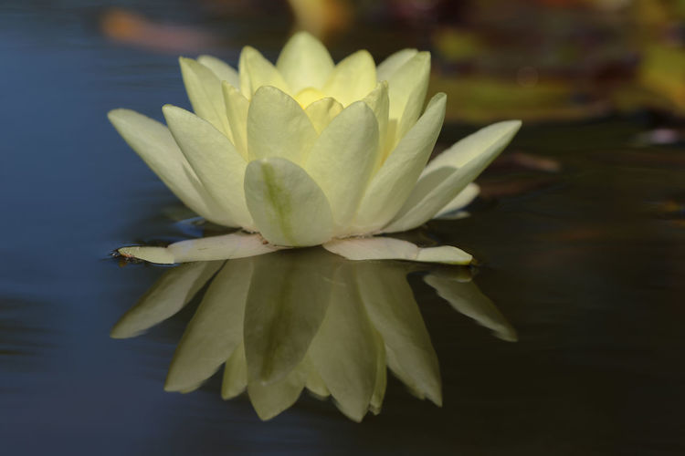 Water Lily with