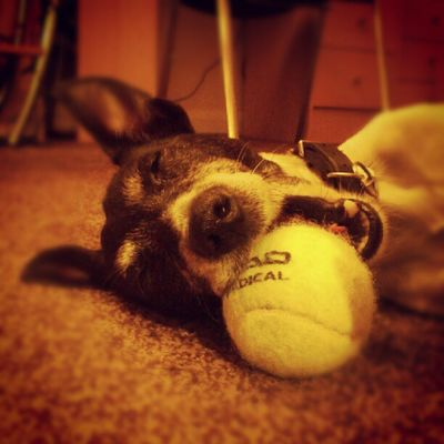 Fallen asleep with his ball in his mouth. Jackrusselterrier Jackrussell Jackrussel Jrt dogs pets petsagram ilovemydog cute