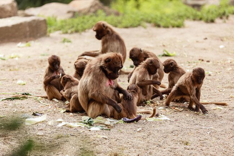 Monkeys sitting on a field